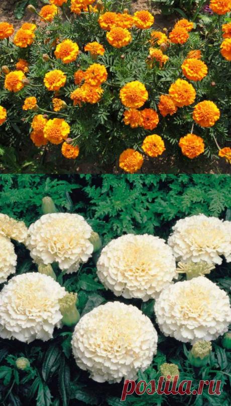 Бархатцы - выращивание из семян: когда сажать и каким способом, популярные сорта цветка