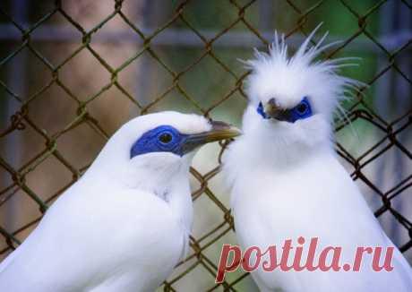 Балийский скворец | Zooclub сайт о животных и растениях