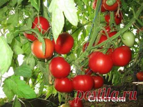 12 сортов очень сладких томатов – рекомендуют коллекционеры Каждый огородник-томатовод имеет свои вкусовые предпочтения. Кому-то нравятся помидоры с легкой кислинкой, кто-то предпочтет насыщенный кисло-сладкий вкус любимого плода-ягоды, но по-прежнему больше в...