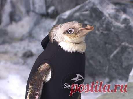 Начавший терять перья пингвин в дикой природе был бы обречен. К счастью, он живет рядом с людьми, которые нашли остроумный выход из ситуации.