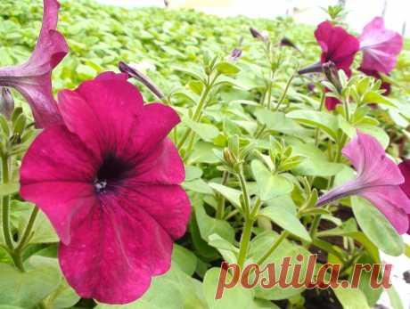 Когда цветет петуния и почему она может не цвести