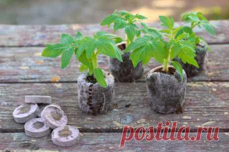 Выращивание рассады томатов без пикировки | Томаты (Огород.ru)