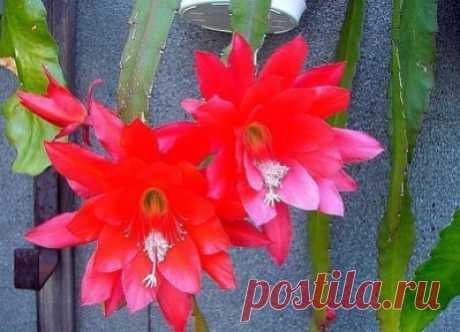 ПРАВИЛЬНЫЙ УХОД ЗА ДЕКАБРИСТОМ Сохраните, чтобы не потерять! Многие выращивают дома красивое растение, которое называют декабристом, потому что обычно цветет оно зимой, и часто в декабре. Но настоящее его название эпифиллюм - членистолистный кактус. Хотя на своих собратьев этот цветок совсем не похож и к тому же не имеет колючек.Происхождение эпифиллюма, как и других кактусов, - тропики. Поэтому ему нужно много света, солнца, но летом, особенно в жаркий полдень, декабриста надо защищать от прямы