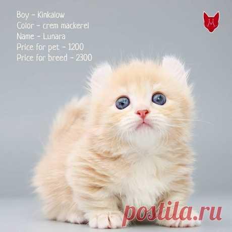 Редкая порода кошек кинкалоу!