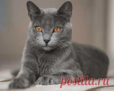 Русская голубая кошка - добрая и ласковая, однако наделена высоким интеллектом, что иногда делает её поведение достаточно своеобразным.