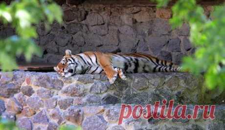 В понедельник, 30 июня, Киевском зоопарке произошло ЧП – в вольер с тигром прыгнул мужчина. Потом другой посетитель зверинца выстрелил в дерево. https://vesti.ua/kiev/58938-v-kievskom-zooparke-chelovek-prygnul-v-kletku-s-tigrom