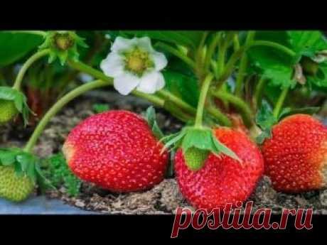 It is not strawberry, and just a fantasy! I only made as this woman advised. — Kopilochka of useful tips