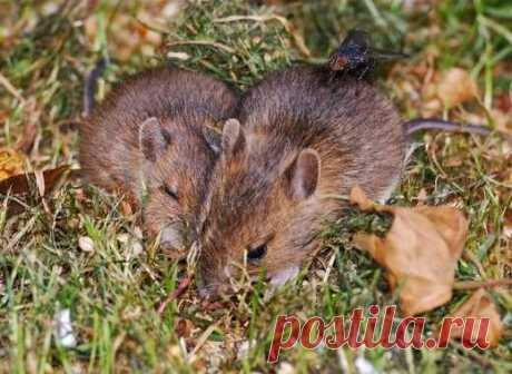 Как гуманно избавиться от мышей Мы с мужем долго искали способ избавления от мышей без насилия и выноса трупиков из дома и решили попробовать способ, в эффективность которого было сложно поверить. В интернете мы нашли информацию о том, что крысы и мыши не любят запаха некоторых трав: мята, пижма, багульник, ромашка, полынь,...