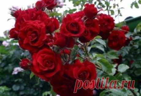 КАК ПРОИЗВОДИТСЯ ОБРЕЗКА РОЗ НА ЗИМУ БЕЗ УЩЕРБА ДЛЯ РАСТЕНИЯ Дикорастущие розы и без всякого вмешательства выглядят прекрасно, они не нуждаются ни в весенней обрезке, ни в осенней. А вот от садовых роз вы  вряд ли дождетесь обильного цветения и быстрого роста без проведения  обрезки. Обрезая старые ветви, вы стимулируете появление новых сильных  побегов, дополнительной листвы и крупных цветов. И если с помощью весенней обрезки формируется красивый розовый куст, то  обрезка роз осенью позволяет