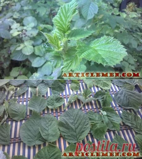 Листья малины: когда собирать и как сушить. Полезные свойства