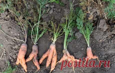 Вытащили морковь, а она кривая? Почему так и что сделать, чтобы такого больше не было | садоёж | Яндекс Дзен
