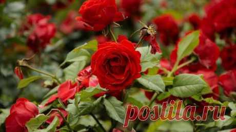 Чем подкормить розы в мае для обильного цветения. Эффективные удобрения