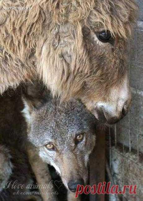 Чтобы накормить пойманного волка хозяева поместили к нему в клетку старого ослика. Вы удивитесь, как отреагировал хищник!