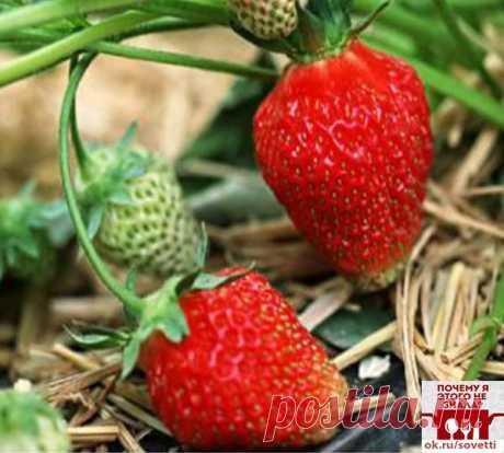 Как сажать клубнику в августе, чтобы не беспокоиться об урожае в следующем году. — FunnyReps