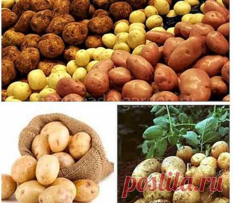 Выбрать сроки посадки картофеля в мае 2021 года помогут таблицы лунного календаря.