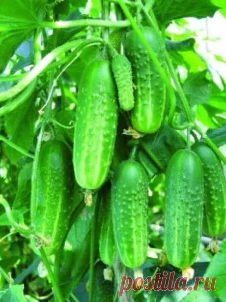 Растворы для хорошего урожая огурчиков🍃