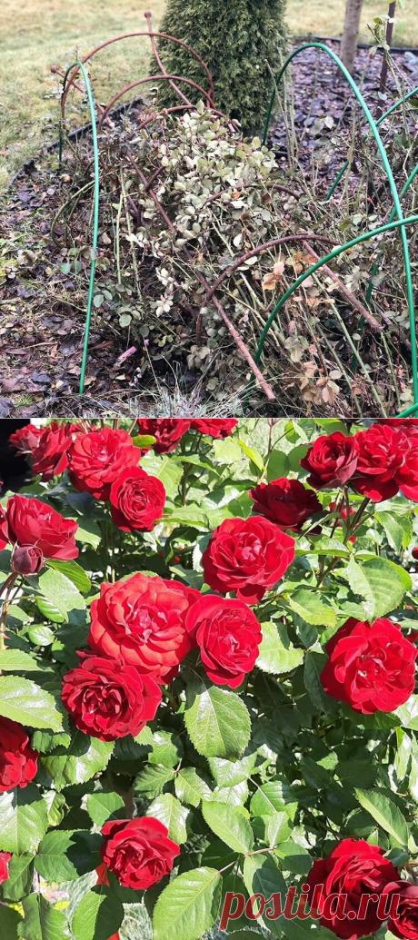 Непростительные осенние ошибки, подрывающие здоровье роз, из-за которых они сильно болеют   посуДАЧИм об огороде   Яндекс Дзен