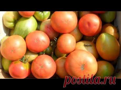 Выращивание помидоров траншейным методом, опыт огородников.