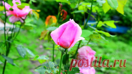Розы после дождя фото и видео. мои розы в саду HD | Aziz Red | Яндекс Дзен