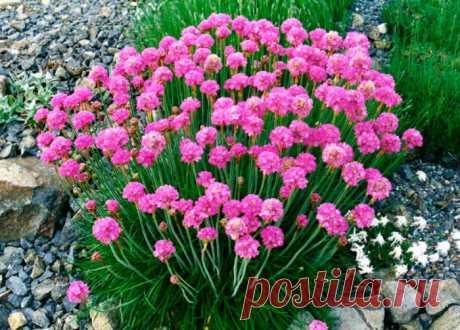 Цветок армерия: посадка и уход в открытом грунте, выращивание из семян