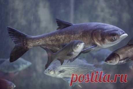 Толстолобик: повадки и особенности Толстолобик - большая карповая рыба. Рыболовы на протяжении последних десяти лет все чаще и чаще охотятся на него, что обуславливает развитие методов