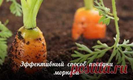 Эффективный способ посадки моркови. Прореживать морковь не нужно!