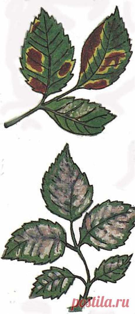 Болезни роз | Цветоводство | Женский сайт