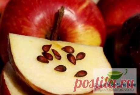 Лечение яблочными семечками: апатия, сонливость, недостаток йода — прочь Народная мудрость гласит: кто яблоко в день съедает, тот у доктора не бывает, — напоминает врач-диетолог Лариса Буткова. – И точно: обычное яблоко – это не только очень вкусный фрукт, но и целый кладе…