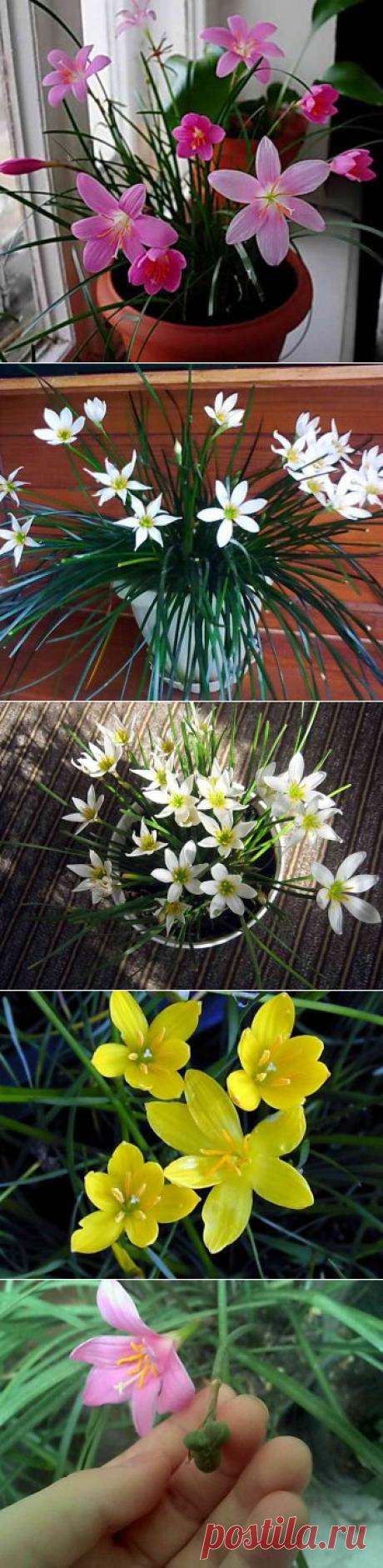 Зефирантес — комнатный цветок. Посадка, уход и размножение семенами   Дача - впрок