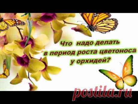 Что нужно делать в период роста цветоноса и заложения бутонов у орхидей?