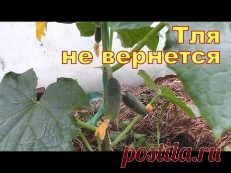 Только прыснул и вся тля с муравьями пали замертво! Лучшие средства от тли в саду и огороде!