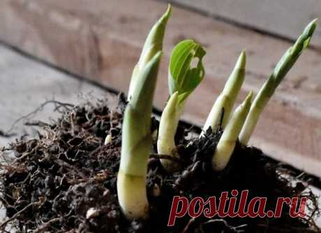 Что нужно хостам весной – 7 секретов пышной листвы   Хосты, Гейхеры (Огород.ru)