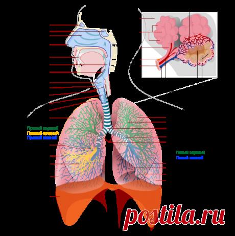 Respiratory system complete ru - Дыхательная система человека — Википедия