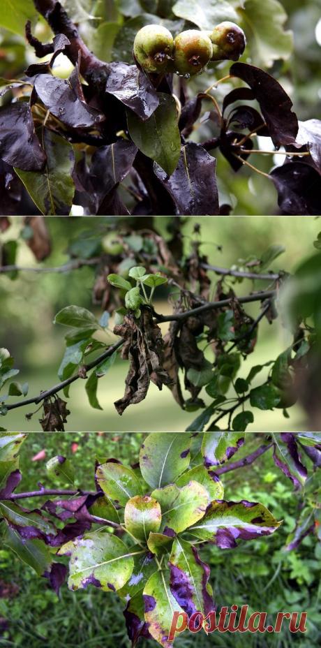 Бактериальный ожог плодовых деревьев: фото, как избавиться