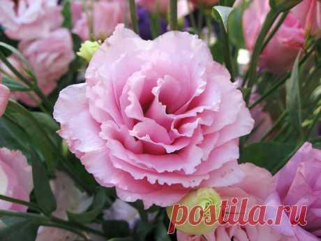 Прекрасньйцветок - Лизиантус или Эустома (лат. Eustoma).
