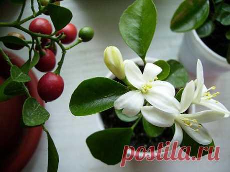 Цветок мурайя | Азбука садовода