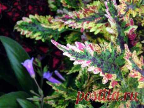 Колеус в саду (36 фото): видео-инструкция по выращиванию своими руками, фото
