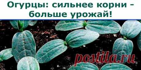 Огурцы: сильнее корни - больше урожай - Полезные советы