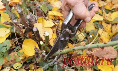 Как правильно обрезать розы на зиму   Розы (Огород.ru)