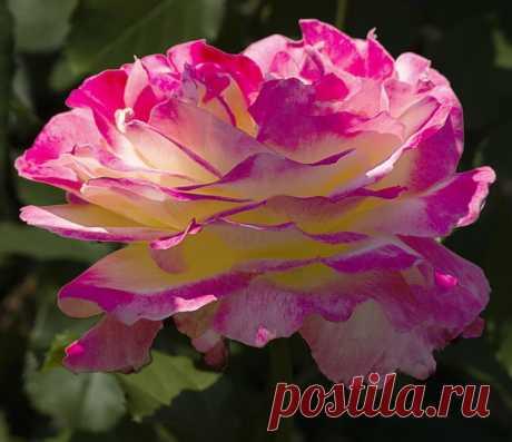 tasha7 — «Я роза. Нежно, ароматно благоухает мой цветок...» на Яндекс.Фотках