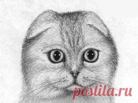 Рисуем шотландскую вислоухую кошку — Сделай сам, идеи для творчества - DIY Ideas