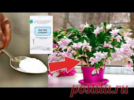 Этот аптечный порошок обожают домашние цветы цветут бесконечно после него проверено!