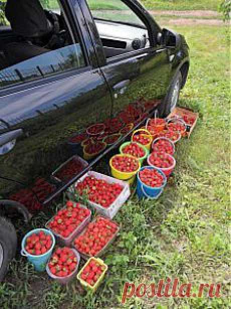 Опыт выращивания клубники (садовой земляники) на дачном участке