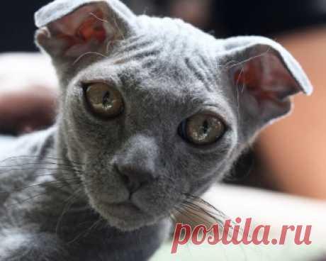 Украинский левкой воплощает в себе лучшие качества кошек, лишён агрессии, сильно привязывается к любимым людям и хорошо их понимает.