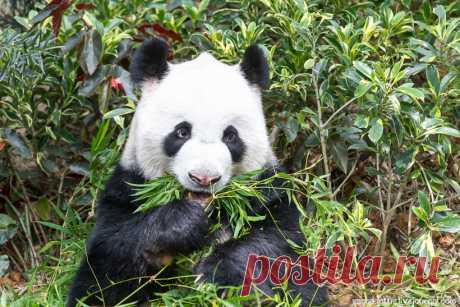 В 2010 году Китай в честь 20-летия успешных дипломатических и торговых отношений с Сингапуром поделился с местным зоопарком частью своего национального достояния — две панды, мальчик и девочка, преодолели путь из питомника в Чэнду и в течение 10 лет будут считать парк River Safari своим домом.