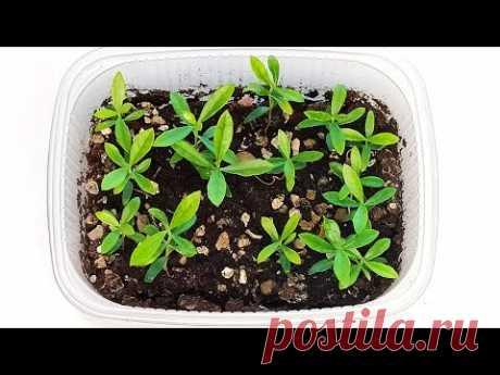 Выращивание Фейхоа из семян в домашних условиях. Возможно ли это? Пикировка | Сад и огород