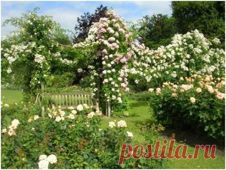 Правильная подготовка плетистых роз к зиме - залог обильного цветения | Наталья Кудрявцева | Яндекс Дзен