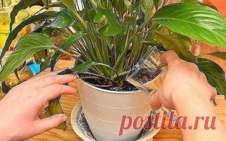 """Секрет роскошного комнатного цветника прост: растения нужно хорошо  подкармливать, иначе не дождаться ни пышной листвы, ни хорошего  цветения. Жесткая """"диета"""", когда растение длительное время испытывает  нехватку питательных веществ, обычно приводит к заболеванию – ведь сил для сопротивления у растения нет. Но как правильно составить меню для зеленых питомцев, учитывая их разные вкусы? 1) Практически все растения любят сахар (а кактусы вообще великие  сладкоежки). Можно пе..."""
