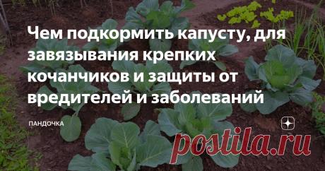 Чем подкормить капусту, для завязывания крепких кочанчиков и защиты от вредителей и заболеваний