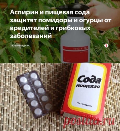Аспирин и пищевая сода защитят помидоры и огурцы от вредителей и грибковых заболеваний | Любимая Дача | Яндекс Дзен